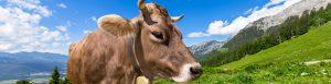 Bio Kuh mit BIO Siegel